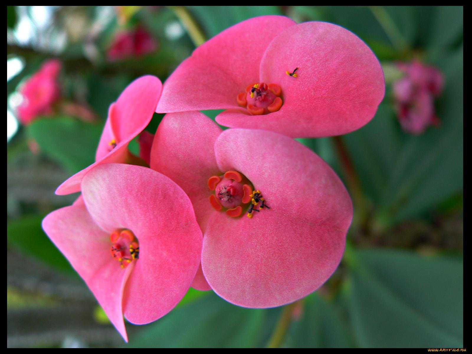 Картинка цветка молочай 5